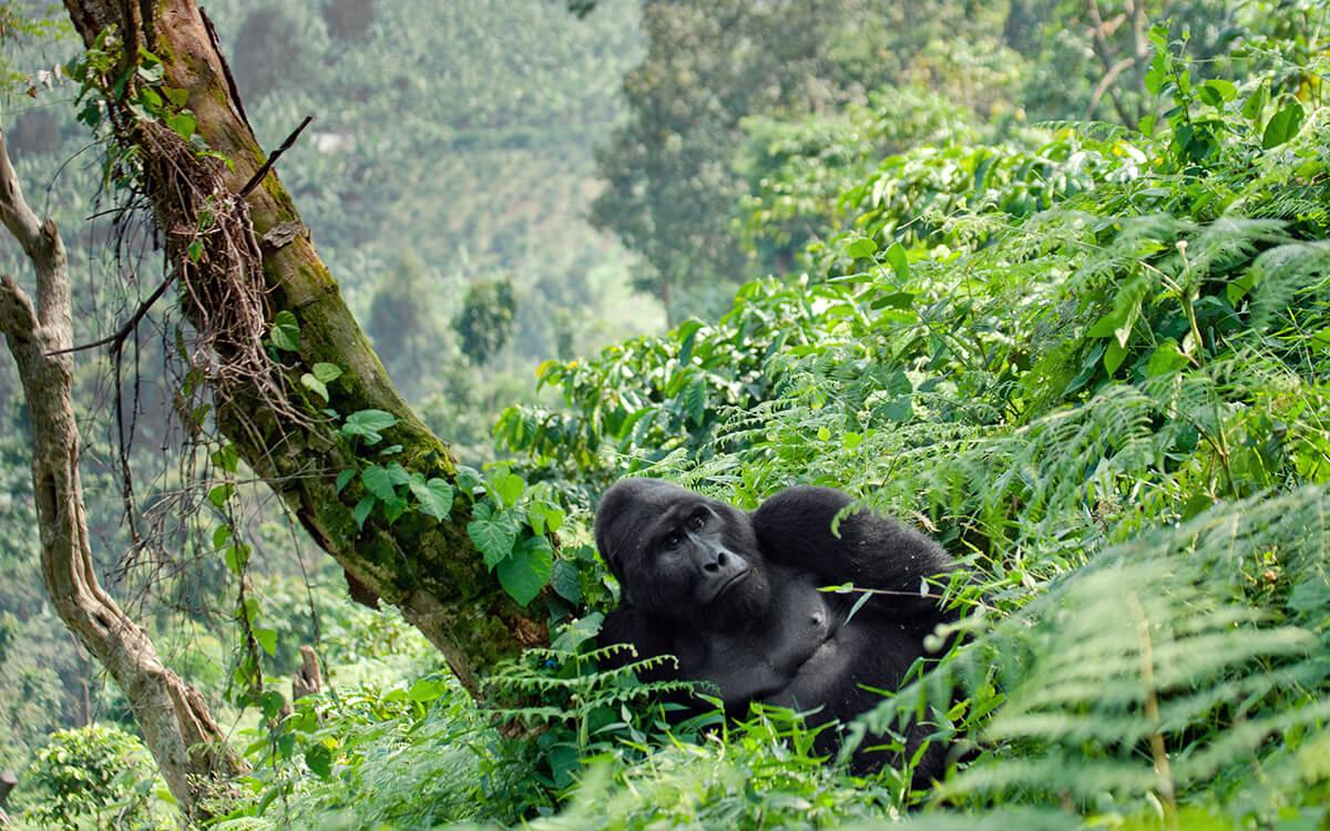 Ruanda Berggorilla